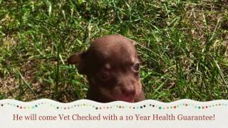 Chaco Teacup Chihuahua Puppy Sale Nc