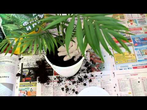 Вопрос: В какой грунт пересадить пальму Вашингтонию?
