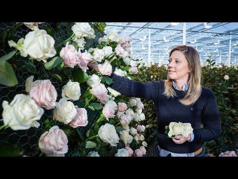M&S Flowers: Meet the Rose Grower