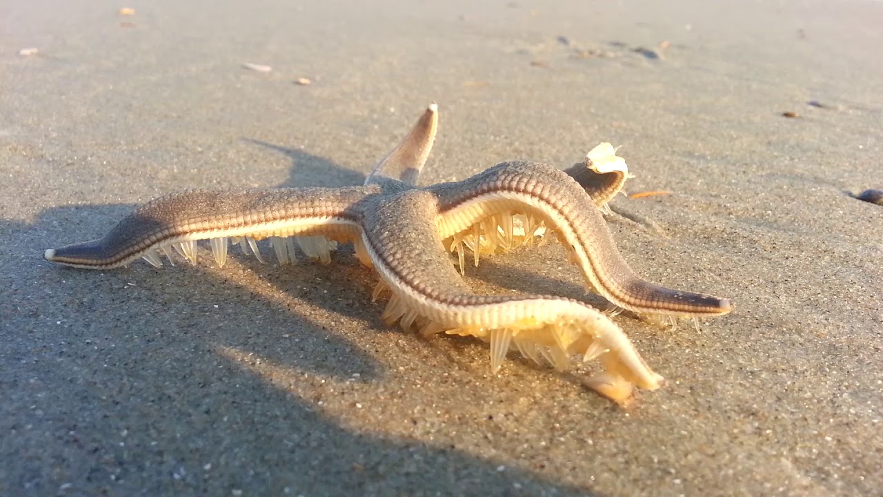 Starfish Speed Walking On The Beach Youtube