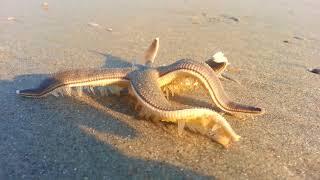 Starfish SPEED Walking on the Beach!
