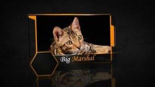 """Питомник бенгальских кошек. """" Big Marshal """""""