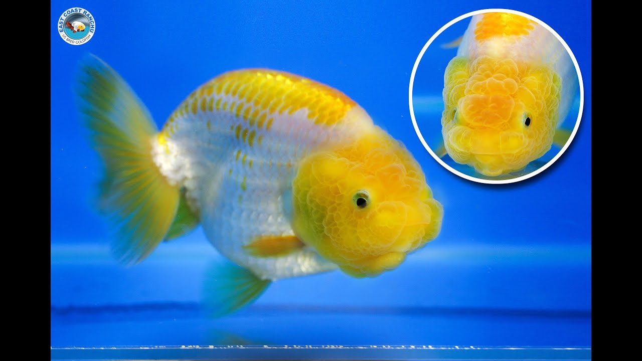 Ranchu Goldfish Images - Reverse Search