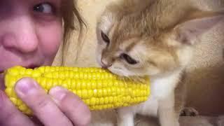 子猫と飼い主の女性が…1本のトウモロコシを分け合う(動画)