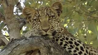 видео Где обитают ягуары?