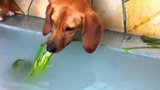 お風呂に入れた菖蒲の葉っぱを何とかして取りたい愛犬マルタ。