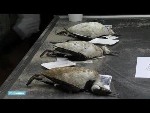 Vogel-CSI: groot onderzoek in het mysterie van de grote zeekoetsterfte - RTL NIEUWS