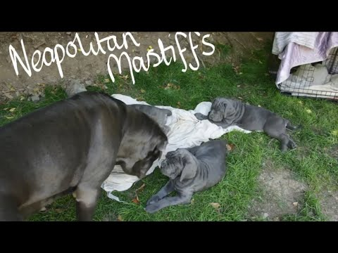 Playing with Big Sister Boo - 8 week old Litter Neapolitan Mastiff Puppies