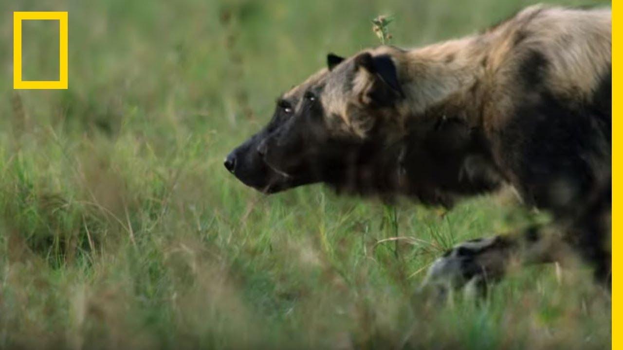 Une meute de lycaons se battent avec un crocodile pour un impala