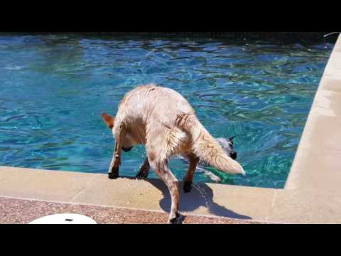 Two Queensland Heelers Love Water
