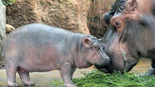 神戸市立王子動物園で、生後約1カ月の雄のカバ「出目吉」の屋外公開が...