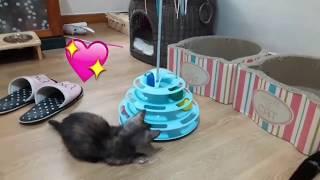 아기고양이 장난감 가지고 잘놀고있는 모습