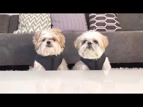 [shih tzu] Food Testing Part III - Guess What Happened When both ZaiZai and MoMo Eating Together