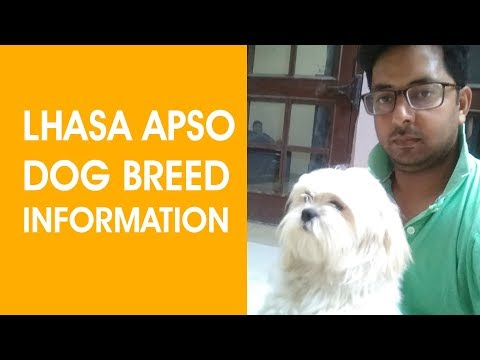 Lhasa Apso Dog Breed Information, Pictures, Characteristics & Facts
