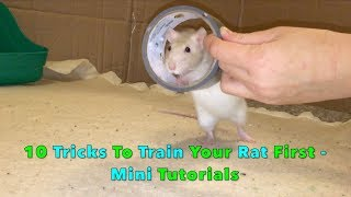10 Tricks To Train Your Rat/Mouse First - Mini Tutorials