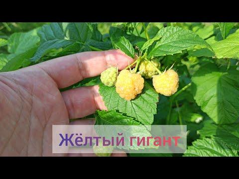 Жёлтый Гигант. Малина летнего плодоношения.