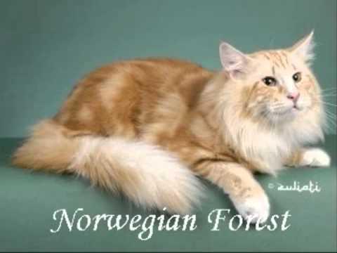 As raças mais lindas de gatos. Beautiful cat breeds.