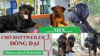 Chó Rottweiler dòng đại là thế nào?