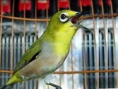 Suara Kicauan Burung Pleci Terbaik 2014