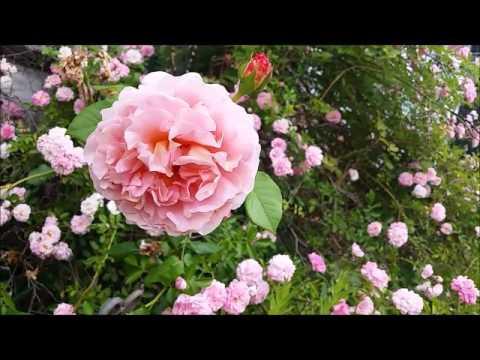 Pema Chodron Do No Harm Shantideva Pink Paramita of Discipline Cause No Harm 100 Year Old Pink Roses