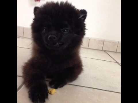 Dog or Bear?! – BarkleyThePom's Vine