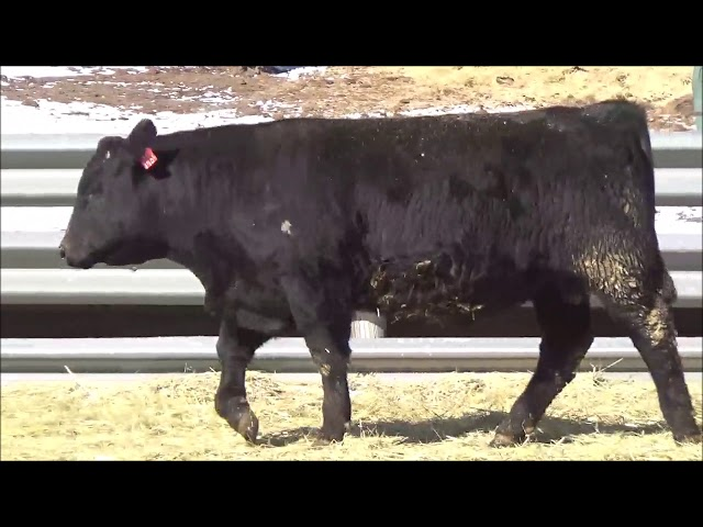 Connealy Angus Lot 16