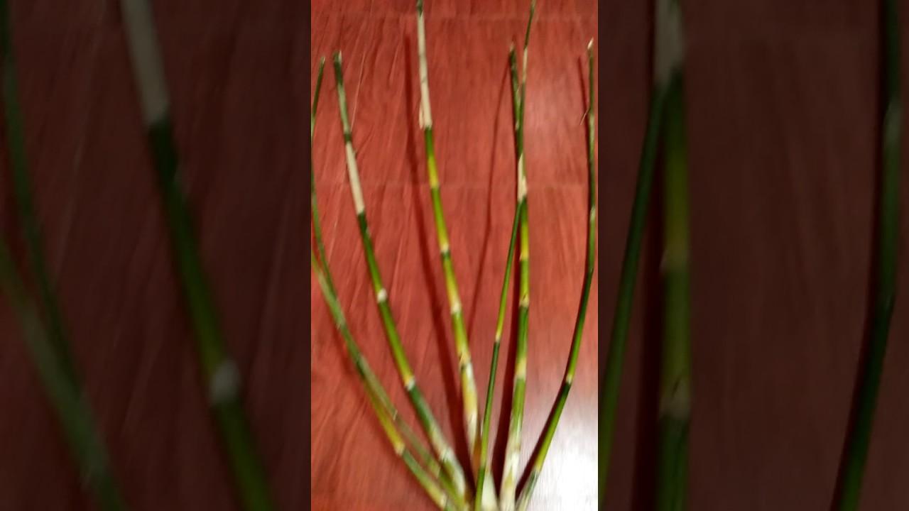 HEBOH dapat bambu Langka Bambu Petuk YouTube