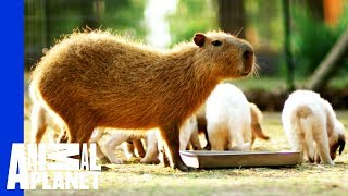 Cheesecake the Capybara Fosters Puppies thumbnail