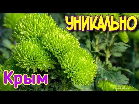 Крым. Не протолкнуться! Все на Бал Хризантем 2019. Никитский Ботанический сад. Туман. Ялта сегодня