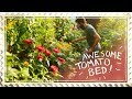 The Most Beautiful Tomato Bed Ever - Companion Planting
