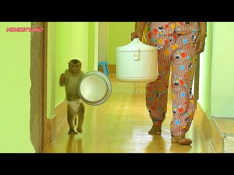 Adorable Monkey Kako Helping Mom Carry Rice Cooker To Cooking