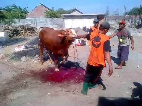cara menjatuhkan sapi kurban dengan cepat