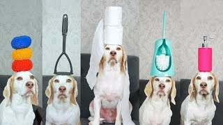 Dog Balances 100 Household Items on Head: Funny Dog Maymo Tricks