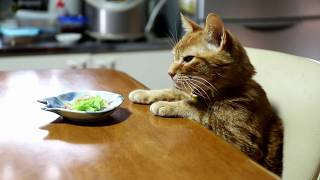 テーブルの上の白菜のおひたしと猫 Napa cabbage
