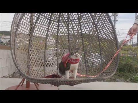猫と一緒にブランコに乗る☆帰りの車中では余裕のおててナメナメグルーミングのリキちゃん【リキちゃんねる 猫動画】Cat video キジトラ猫との暮らし