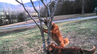 Rusty & Lilly's Obstacle Course.. Golden Retriever