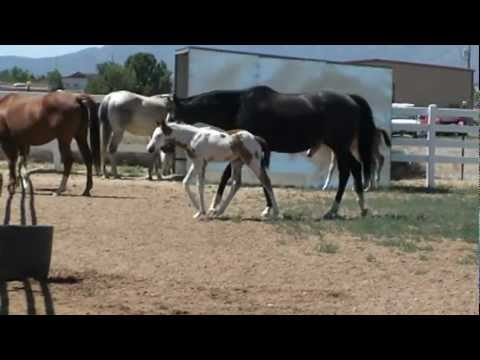 Mountain View Paint Horse Ranch Foals 2012