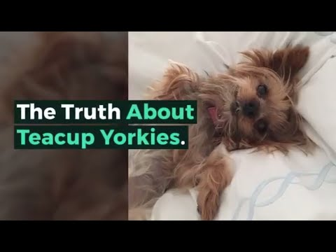 The Truth About Teacup Yorkies!