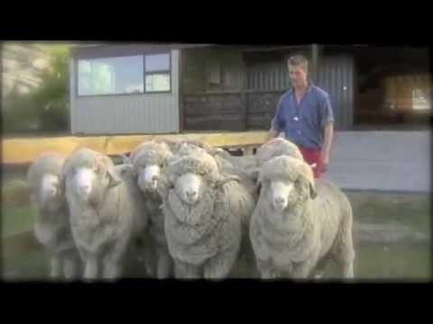 Smartwool Merino Sheep Youtube