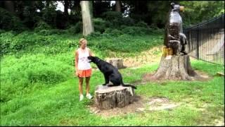 Solid Black German Shepherd Dog Olk9 Asheville