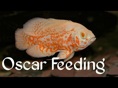 THE OSCAR AQUARIUM || Aquarium Fish Healthy Food Homemade | OSCAR AQUARIUM FEEDING