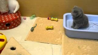 Белые британские котята питомник Мирасинель