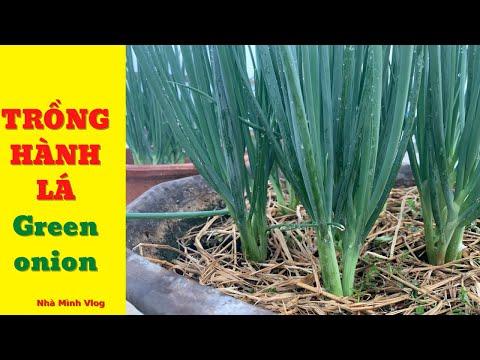 Thật tuyệt vời thêm hai cách trồng hành lá tại nhà | Nha Minh Vlog