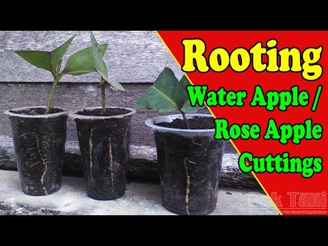 Rooting A Water Apple or Rose Apple From Cuttings by Grafting Examples