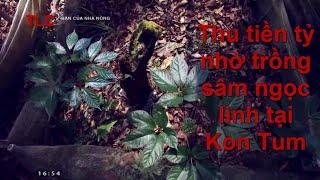 Thu tiền tỷ nhờ trồng sâm ngọc linh tại Kon Tum