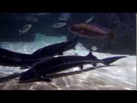 pez-más-grande.-ideas-acuario-de-el-arte-de-los-videos-acuario-más-grande-de-hd-[pez-más-grande]