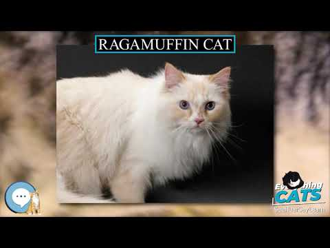 Ragamuffin cat  EVERYTHING CATS