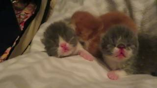 Exotic Shorthair Kittens at Four Days Old