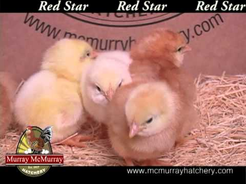 murray mcmurray sex linked chickens in Fredericton