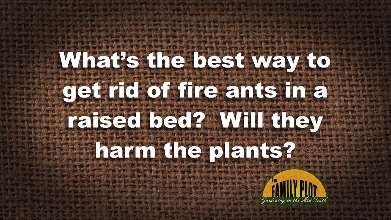 Q&A –Best way to get rid of fire ants in raised beds? - YouTube
